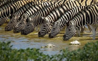Zebra Water Drink Wallpapers Quirk Sott Quantum