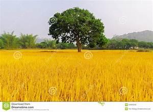 Golden Rice Has Three Trees Stock Photos