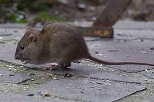 Unterschied Maus Ratte : unterschied ratte maus video den unterschied zwischen ~ Lizthompson.info Haus und Dekorationen