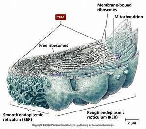 Biology Pictures  Rough And Smooth Endoplasmic Reticulum