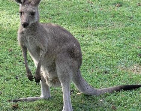 picture    kangaroo macropus giganteus pictures