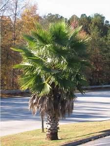Palmier De Jardin : palmier de californie washingtonia filifera le jardin ~ Nature-et-papiers.com Idées de Décoration