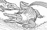 Crocodile Coloring Pages Printable Alligator Realistic sketch template