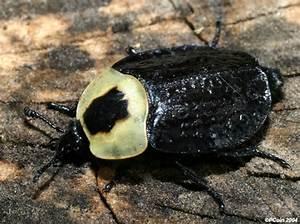 American Carrion Beetle - Necrophila Americana