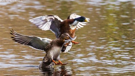 duck facts interesting facts about ducks just fun facts