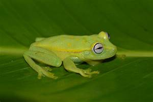 First Widespread Chytrid Fungus Infections In Frogs Of