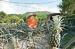 郊遊新點 爆甜有機菠蘿園 - 副刊 - 日報新聞 - 頭條日報 Headline Daily