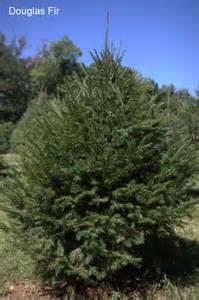 the ol 39 dairy barn tree farm trees
