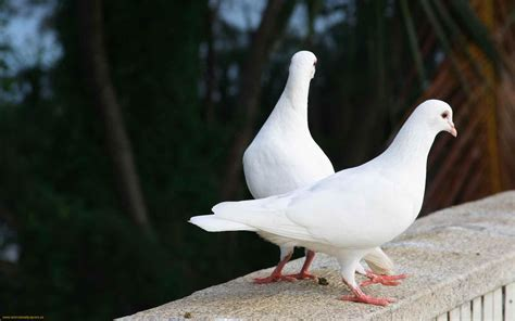 doves images doves hd wallpaper and background photos