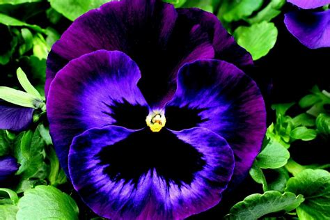 pansy flower pansy freethought tattoo on pinterest pansy tattoo