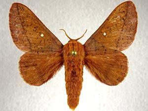 moth photographers group anisota fuscosa