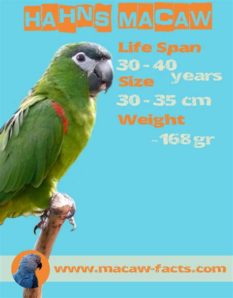 macaw lifespan hahns macaw lifespa size and weight macaw facts
