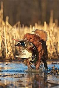 Breed Profile: Nova Scotia Duck Tolling Retriever - Gun ...