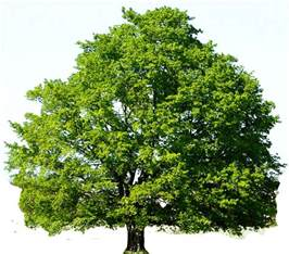 dogwood flowers tree clipart
