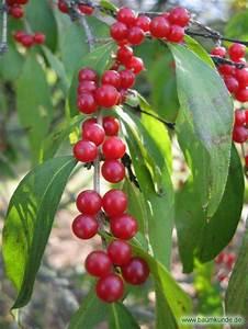 Baum Mit Roten Beeren : rote heckenkirsche lonicera xylosteum fr chte bestimmen rote heckenkirsche ~ Markanthonyermac.com Haus und Dekorationen