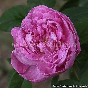 Rosen Düngen Im Frühjahr : laneii rosen online kaufen im rosenhof schultheis rosen online kaufen im rosenhof schultheis ~ Orissabook.com Haus und Dekorationen
