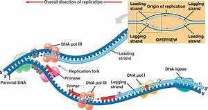 Ap Biology At Wheaton Hs  Ch16 Dna Replication  U0026 Ch17 Protein Synthesis