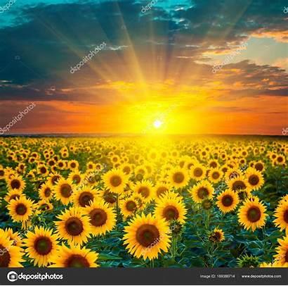 Sunflower Sunset Fields Girasoles During Sol Campos