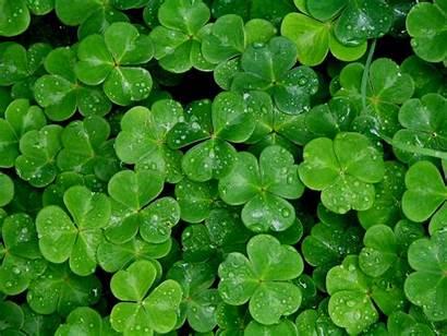 Shamrock Wallpapers Clover Leaf Irish Clovers Lucky