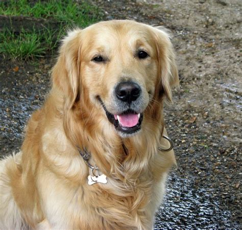 Dog Beautiful Golden Retriever · Free Photo On Pixabay