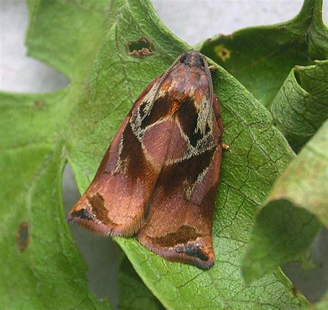 https://www.ukmoths.org.uk/species/archips-podana/