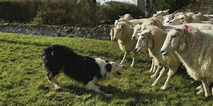 Sheepdog Study Yields Simple Explanation For Dogs' Awesome ...