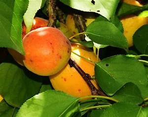 Apricot Tree Leaves Tell You About Tree Health - Garden.eco