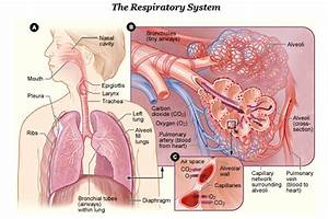 East Dragon Den  Respiratory System Vocabulary Instructions