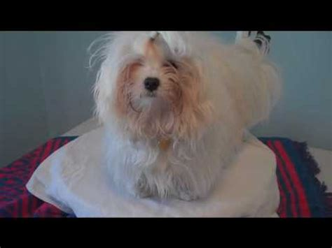 maltese puppy spring hair cut
