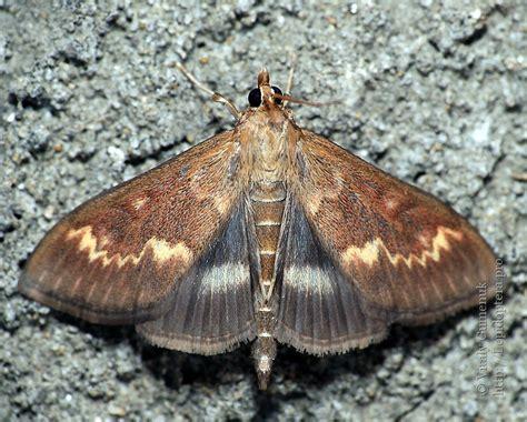 http://lepidoptera.pro/taxonomy/9328