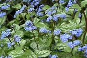 Brunnera macrophylla 'Jack Frost' - gardenersworld.com