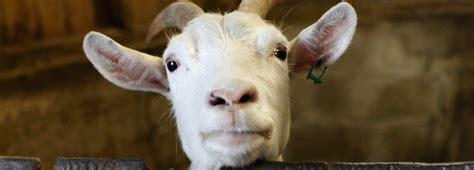 rehome adopt  farm animal   rspca
