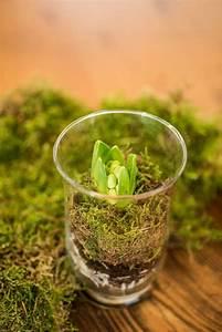 Pflanzen Günstig Kaufen : hyazinthe im dekoglas hyacinthus orientalis g nstig online kaufen pflanzen pflanzen ~ A.2002-acura-tl-radio.info Haus und Dekorationen