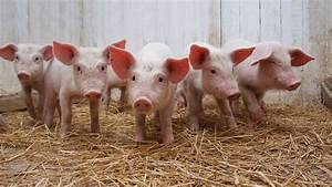 Piglet Therapy Is Our New Favorite Form Of Stress Relief