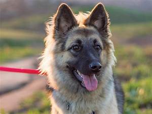 German Shepherd Watchdog - Goldenacresdogs.com