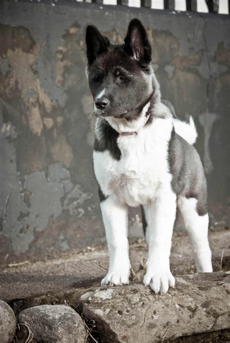 akita dog breed information pictures