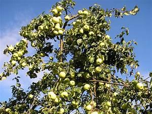 L Arbre Du Kiwi : taille des arbres fruitiers quand et comment tailler les arbres fruitiers ~ Melissatoandfro.com Idées de Décoration