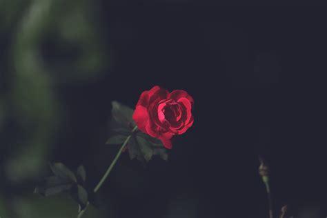kostenloses foto zum thema dunklem hintergrund rosen