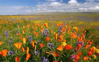 Meadow Flowers Flower Meadows California Pretty Desktop