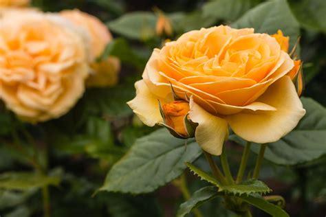 rosen im topf pflanzen pflegen von rosen im kuebel
