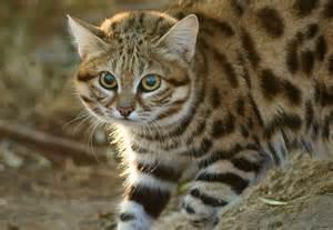black footed cat black footed cat felis nigripes