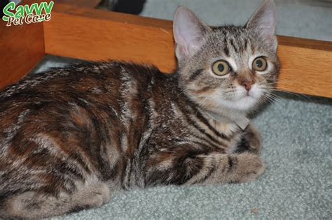 tabby cat colors the glorious tabby cat personality pattern history