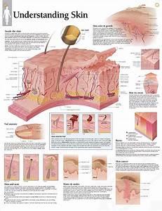 Understanding Skin Chart 22x28 In 2019