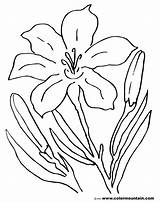 Lily Coloring Pages Flower Tiger Easter Stargazer Drawing Printable Lilies Amazing Sheet Lovely Awesome Getcolorings Calla Getdrawings Colormountain Activity Printout sketch template