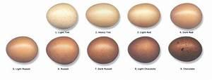 French Black Copper Marans Chicken Breeds Cackle Hatchery