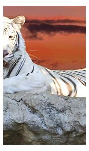Facts About White Tigers That Will Take Your Breath Away ...