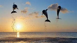 Dolphins, In, Bay, Islands, Wallpapers