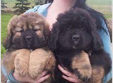 Die besten 25+ Tibetanische Dogge Ideen auf Pinterest