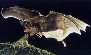 newt in the throat - HAPPY HALLOWEEN HERE'S A POST ON BATS ...
