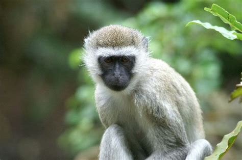 Vervet Monkey In Their Natural Habitat - Monkey Facts and ...